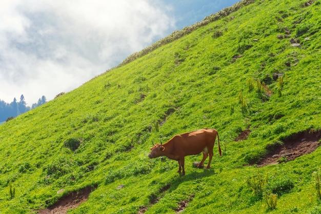 Мычание коровы на склонах альпийских лугов в горах среди облаков