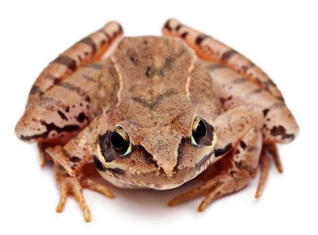 Moor frog - rana arvalis, isolated on white