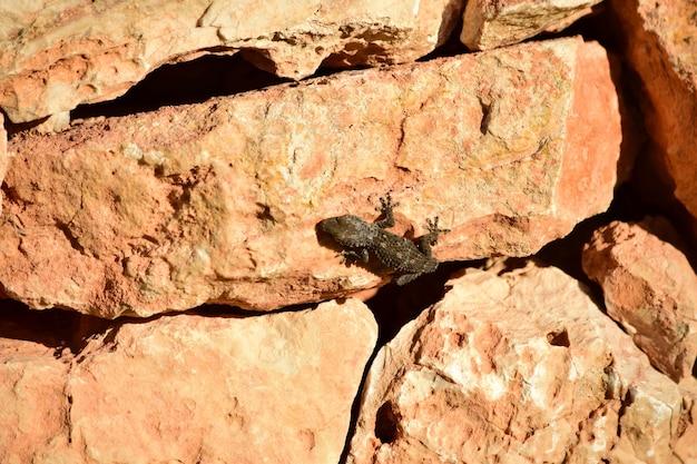 Мавританский геккон ползет по скалам под солнечным светом днем на мальте