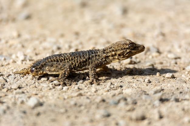 Мавританский геккон (tarentola mauritanica) на земле с отрезанным хвостом на острове майорка