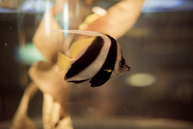Moorish idol fish underwater