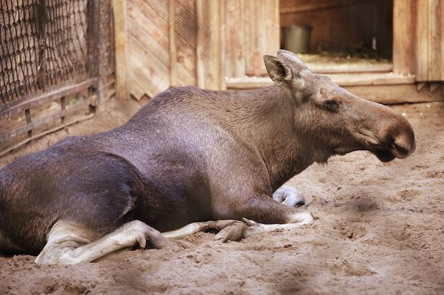 動物園のムース、夏の日