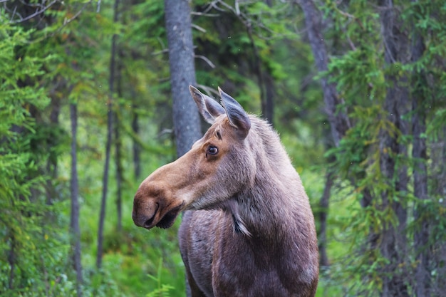Moose in autumn forest. wildlife nature in usa.