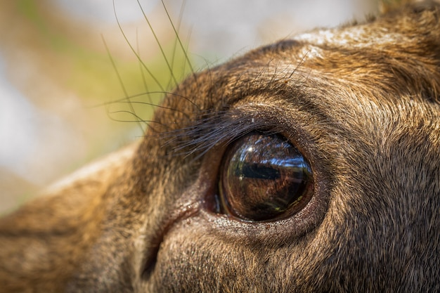 Moose or european elk alces alces female eye close up
