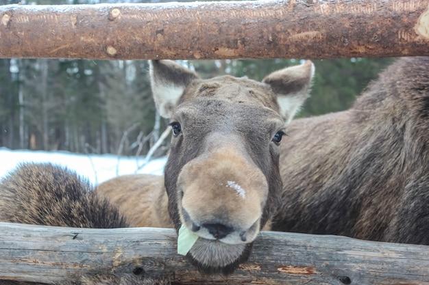 Moose face close up view