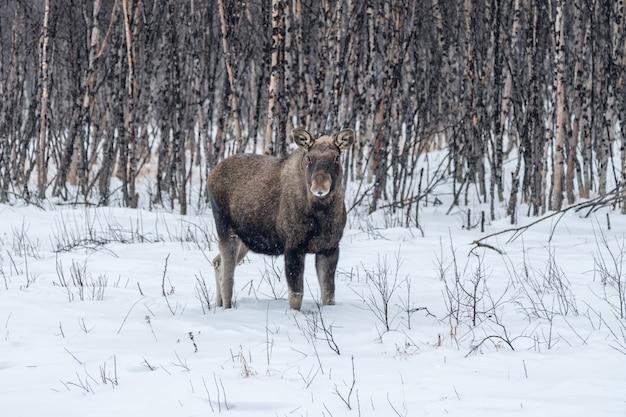 Лось в снегу и березовом лесу