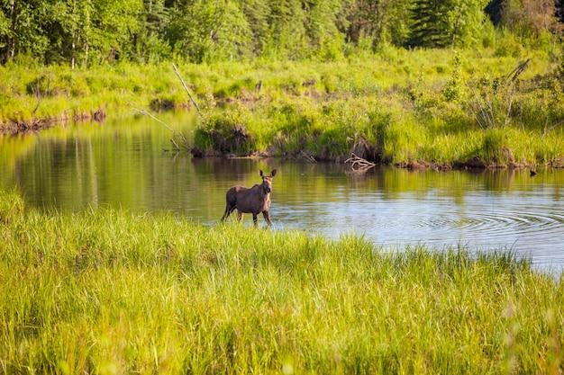 湖のムース。アメリカの野生生物の自然。