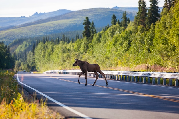 道路のムース。アメリカの野生生物の自然。