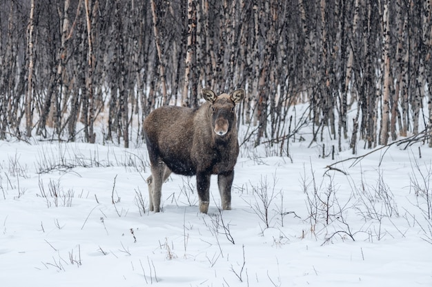 Moose in snow and birch tree forest
