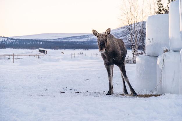 北スウェーデンの日光の下で雪原に立っているムース