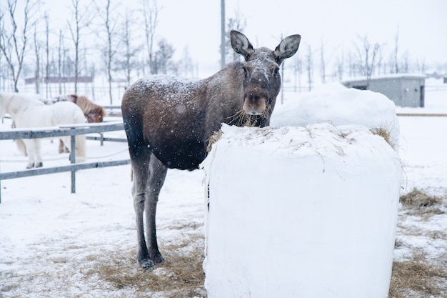 Moose standing near a block of hay while looking towards the camera in the north of sweden