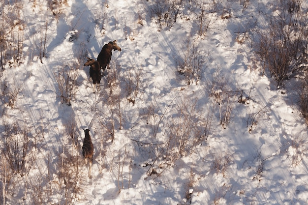 Moose, three wild elk on the snow, top view.
