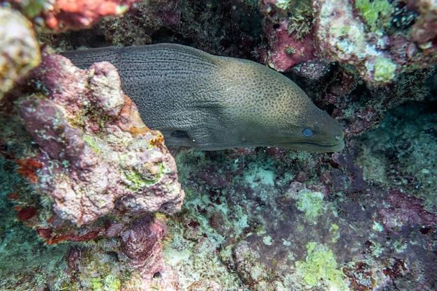 熱帯の海の珊瑚礁の石に隠れているウツボ