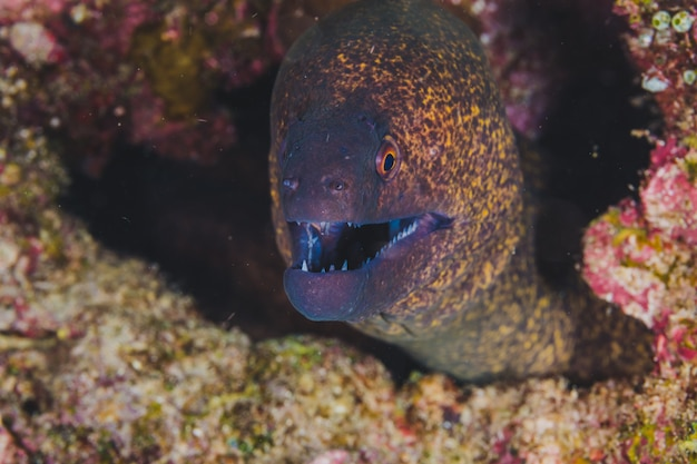 Moray eel malpelo