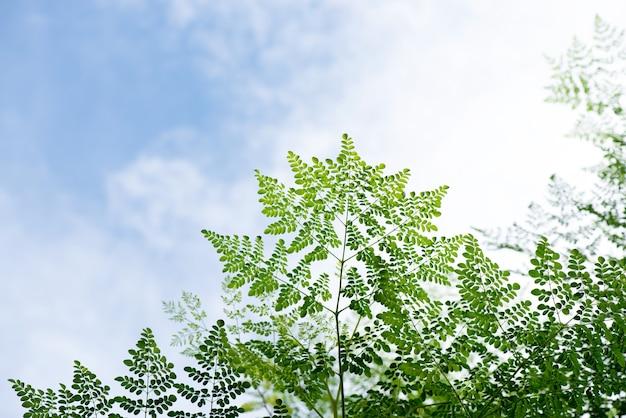 空の背景にモリンガ枝緑の葉。