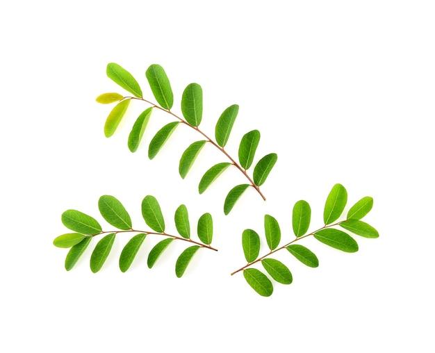モリンガの葉は白い背景で隔離
