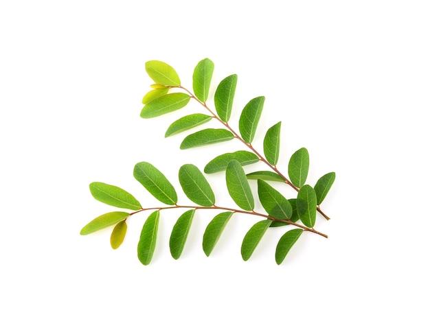 モリンガの葉は白い壁に孤立