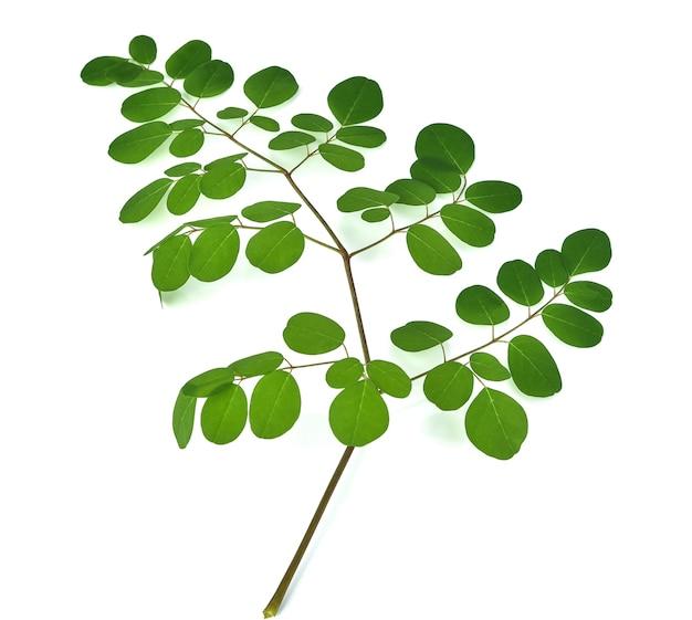 モリンガの葉は白で隔離