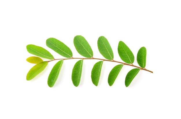 モリンガの葉が孤立
