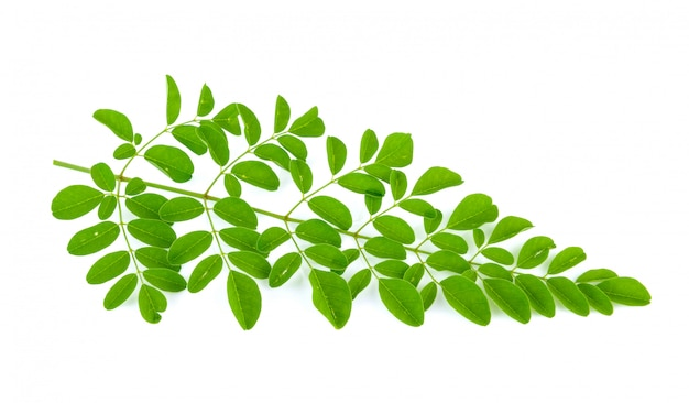 Moringa는 흰색 바탕에 나뭇잎.