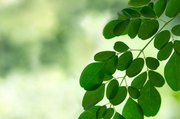 Свежий moringa листья фон