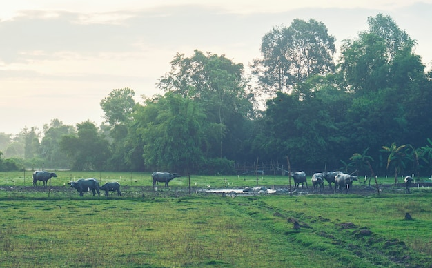 Morning in the countryside of thailand with buffalo herd.