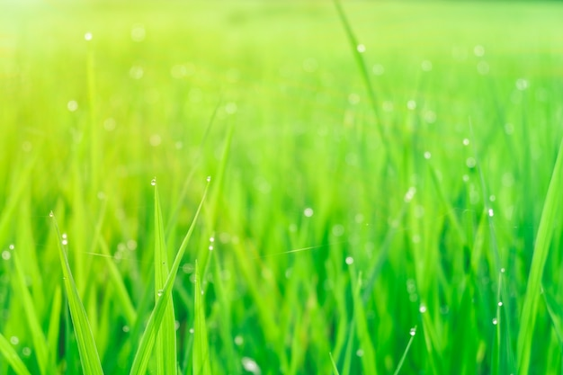 Morning dew droplets on blades of green grass.