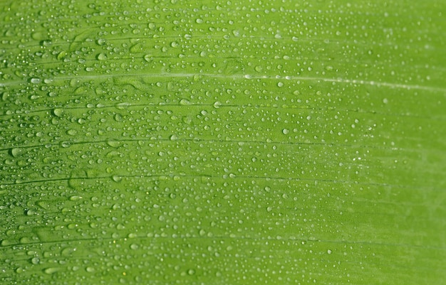 Morning dew drops on green leaf close up.