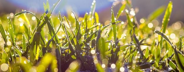 朝露が草の上で太陽に照らしてきらめく