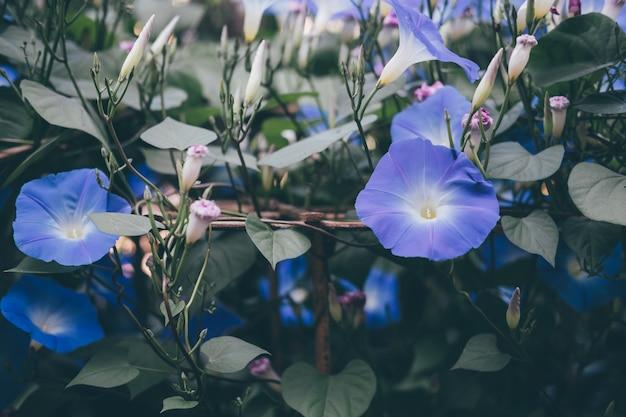 Morning glory. blooming flower in garden. blue flora