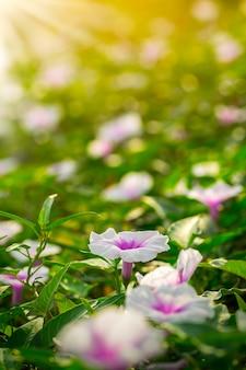 Morning glory flower in the morning sunlight