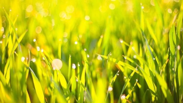 이슬 방울과 아름다운 보케 배경으로 태양의 아침 푸른 잔디.