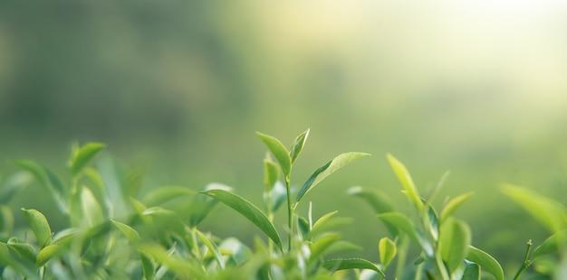 차 정원에서 햇빛 아래에서 찍은 아침 녹차 잎, 흐릿한 배경.