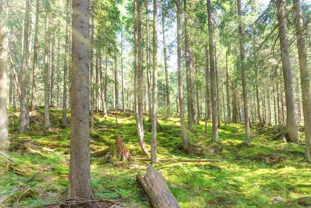 松の木と緑の春の森の朝