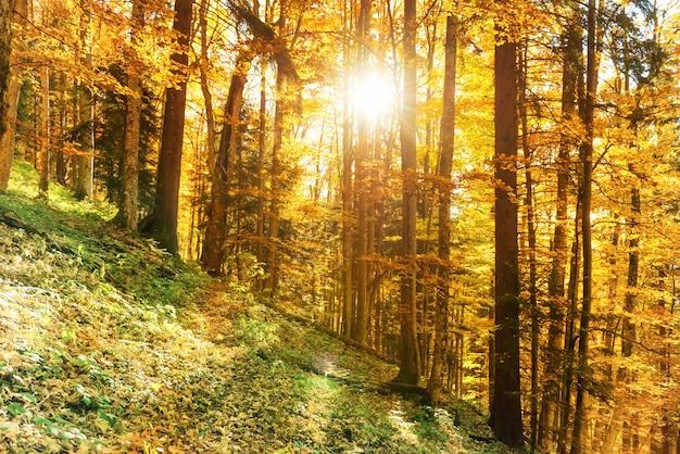 秋の森の朝。オレンジ色の落ち葉と木々の間から輝く太陽