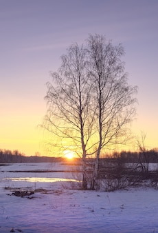 Утро весной поле береза с голыми ветвями в заснеженном поле