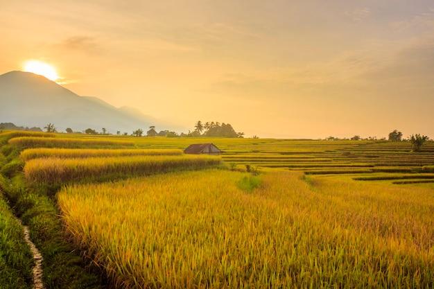 山ベンクルインドネシアの美しい田園地帯の黄色い水田の朝の風景