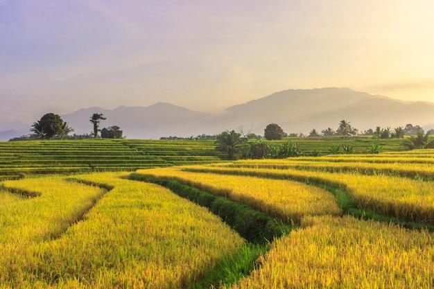 インドネシアのスマトラ山岳地帯の美しい田園地帯の黄色い水田の朝の風景