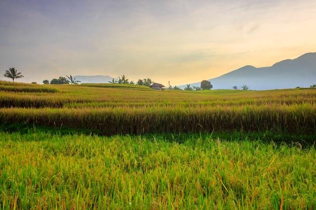 黄色い田んぼ、美しい田園地帯、山脈地域の朝の風景