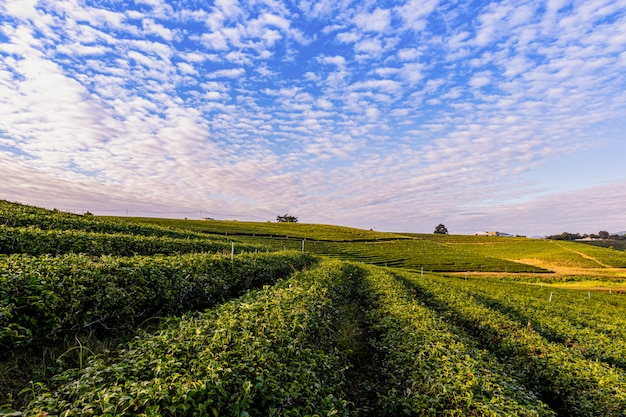 Morning light in choui fong green tea plantation one of the beautiful agricultural tourism spots in mae chan district