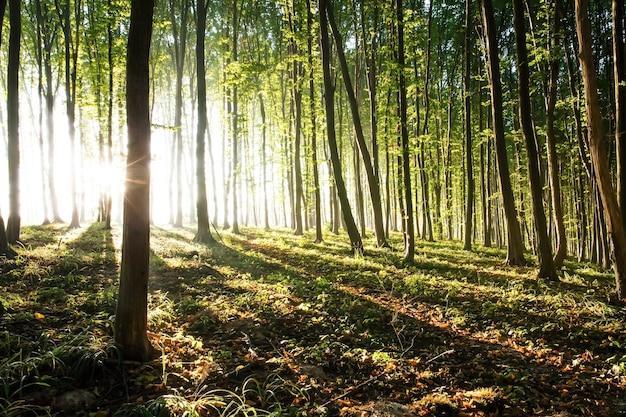 太陽の朝の光が森を通り抜ける
