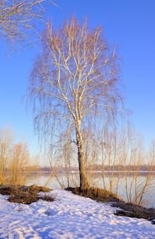 Утро на берегу оби. голая береза с висящими ветвями на утреннем солнце.