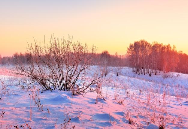 冬の畑の朝。ピンクの光の中で青い雪の真ん中に裸の茂みと白樺