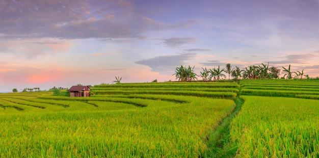 緑の田んぼと朝の空の景色を望む朝のパノラマ