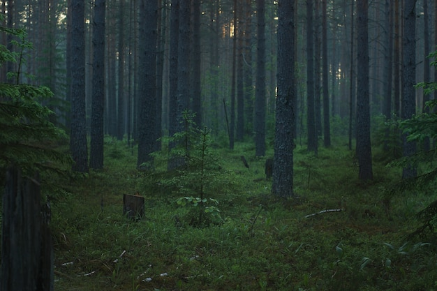 Утренний сосновый лес с туманом утром перед рассветом.