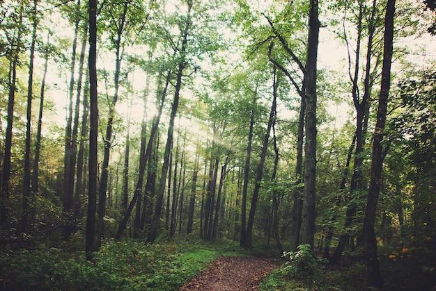Утренние лучи солнца пробиваются сквозь ветви деревьев в лесу, по которому проходит тропинка.