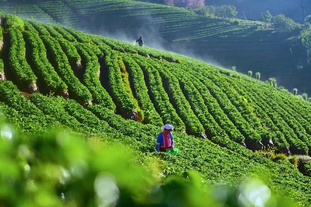 朝イチゴ農場、ドイアンカン、チェンマイ、タイ