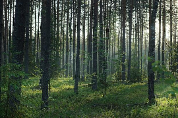 夜明けの朝夏の森、自然が目覚めます。