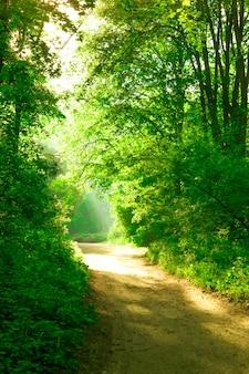 Утреннее солнце в лесной зеленой лиственной кроне и грунтовая тропа грунтовой дороги