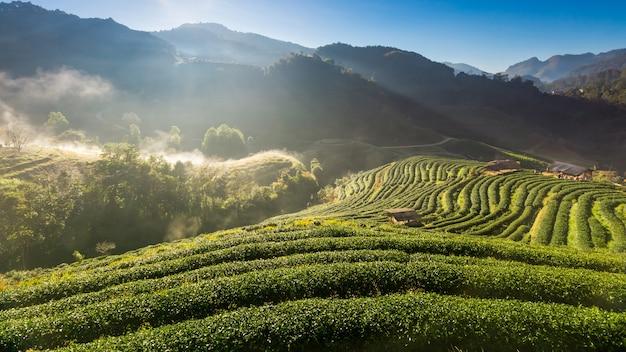 Morning at tea field, doi ang-khang, chiang mai, thailand